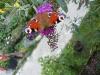 budleja, motyli krzew
